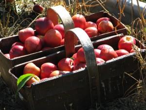 Peach Harvest - Epp's 21
